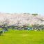 桜が咲く公園